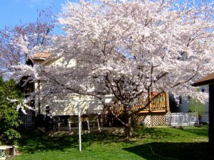 Our Cherry Tree
